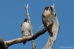 Mr & Mrs P. G. Falcon (Mitch Vanbeekum Photography) Tags: peregrinefalcon male female maleandfemale pair statelinelookout alpine nj newjersey falcoperegrinus canon14teleconvertermkiii canoneos1dx canonef500mmf4lisiiusm mitchvanbeekum mitchvanbeekumcom perched bluesky