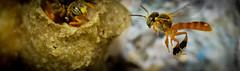 Apidae: Tetragonisca angustul (entomopixel) Tags: tetragonisca apidae insect insecto insectphotography insectmacro arthropods
