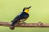 Carpintero Arcoiris (J Chiavo) Tags: argentina aves beneditodetestaamarela birdphotography birdwatching canon400f56 canon70d carpinteroarcoiris melanerpesflavifrons misiones nature reservaprivada sansebastian sansebastiandelaselva selva yellowfrontedwoodpecker bird