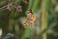 a Painted Lady (6K photo - Zoom in) (Franck Zumella) Tags: belledame vanesse des chardons vanessa cardui painted lady butterfly papillon 6k high resolution test big screen crop 6000 insect animal wildlife wild life color couleur green red orange vert rouge