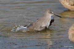 Willet, bathing, Malibu Lagoon, CA CQ4A4831 (Hart Walter) Tags: malibulagoon willet marbledgodwit heermannsgull royaltern whimbrel brownpelican