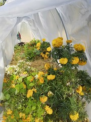 All Tucked In For Winter (~ Liberty Images) Tags: gardening garden flowers marigold nasturtium home
