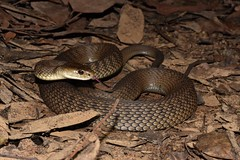Tropidechis Carinatus (Rough-Scaled Snake) (Tom Frisby) Tags: snake snakes reptile reptiles herp herping photography wildlife wild australia animal fauna nature native nsw