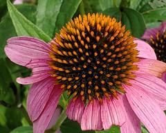 Coneflower (MaggieDu) Tags: flower coneflower echinacea purpleconeflower