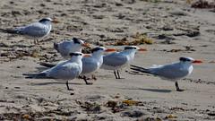 Royal Terns, Malibu Lagoon, CA CQ4A4798 (Hart Walter) Tags: malibulagoon willet marbledgodwit heermannsgull royaltern whimbrel brownpelican