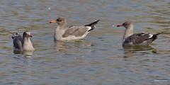 Heermann's Gulls, Malibu Lagoon, CA CQ4A4827 (Hart Walter) Tags: malibulagoon willet marbledgodwit heermannsgull royaltern whimbrel brownpelican