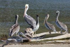 Brown Pelicans, Malibu Lagoon, CA CQ4A4802 (Hart Walter) Tags: malibulagoon willet marbledgodwit heermannsgull royaltern whimbrel brownpelican