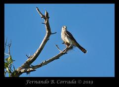American Kestrel (7974) (fbc57) Tags: americankestrel falcosparveriuscaribaearum raptors falcons falconiformes morovis puertorico caminodelaceiba birds birdsofprey birdsofpuertorico nikon1v3 nikon70300vrcx
