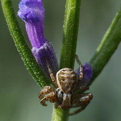Loving the Lavender (murraymike89410) Tags: sequim washington 100mmlmacro 14x extensiontubes arachtober spider lavender