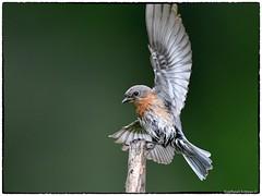 Eastern bluebird (RKop) Tags: raphaelkopanphotography d500 600mmf4evr californiawoodspark