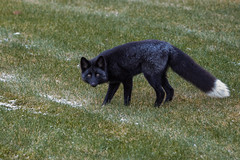 He Came Back (Dan King Alaskan Photography) Tags: silverfox redfox fox blackfox vulpesvulpes interioralaska alaska wildlife wilderness preservewilderness protectwildlife canon80d sigma150600mm