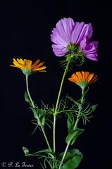 les Soucis du Cosmos (letexierpatrick) Tags: fleur flower fleurs flowers botanique plante nature floraison fondnoir proxiphotographie macro colors couleurs couleur nikon nikond7000 noir france europe