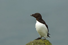 Razorbill, Isle of May, Fife (Terathopius) Tags: razorbill isleofmay bird seabird alcatorda auk fife scotland unitedkingdom greatbritain animal fauna wildlife wildlifephotography nature naturephotography naturaleza natureza outside canon5d canon