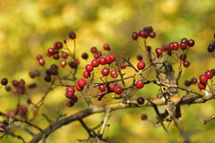 Red/Yellow (Tony Tooth) Tags: nikon d7100 sigma 70mm red yellow berries nature october bokeh ecton staffs staffordshire