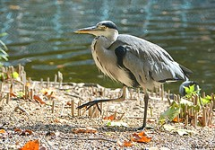 Best Foot Forward (Eleanor (New account))) Tags: bird greyheron water stjamesspark london england uk nikond7100 october2019