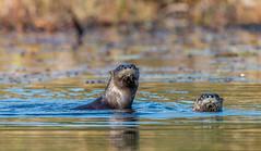27_DSC8882 (doug.metcalfe1) Tags: 2019 algonquinprovincialpark dougmetcalfe fall grahamcreek mammal nature ontario outdoor provincialpark riverotter