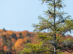 19_DSC8859 (doug.metcalfe1) Tags: 2019 algonquinprovincialpark beltedkingfisher dougmetcalfe fall grahamcreek nature ontario outdoor provincialpark bird fallcolours fallleaves