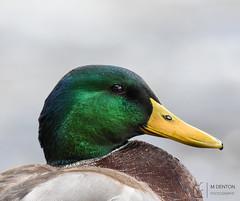 Drake Mallard Portrait (mikedenton19) Tags: mallard duck drake anas platyrhynchos anasplatyrhynchos portrait boltonabbey bolton abbey river riverwharfe wharfe wharfedale northyorkshire yorkshire wildlife nature bird