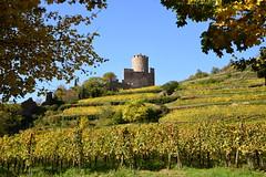 le château de Kaysersberg (Alsace, F) (pietro68bleu) Tags: hautrhin châteaumédiéval vignes vignoble arbres automne