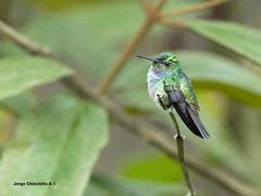 Blue-chested Hummingbird (Amazilia amabilis) (Jorge Chinchilla A.) Tags: bluechested hummingbird amazilia amabilis launióndeguápiles limón costarica américacentral birds birdwatcher birdphoto colibrí jorgechinchilla avesdecostarica costaricabirds neotropicalbirds ngc