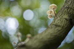 Porcelain Fungus (Daniel Trim) Tags: oudemansiella mucida porcelain fungus fungi mushroom toadstool autumn hitch wood hertfordshire nature wildlife woodland woods beech