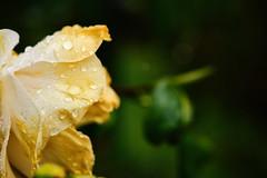 Spring Shower (M J Adamson) Tags: flowers camellia weather rain nature spring nz newzealand