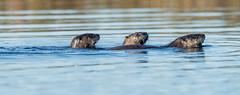 23_DSC8870 (doug.metcalfe1) Tags: 2019 algonquinprovincialpark dougmetcalfe fall grahamcreek mammal nature ontario outdoor provincialpark riverotter