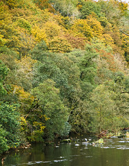 Fishing! (vincocamm) Tags: lowther river riverlowther cumbria trees woods forest autumn orange yellow green water rocks ducks heron october nikon d5500