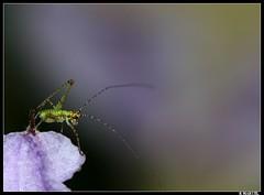 Sauterelle (boblecram) Tags: orthoptère sauterelle larve insecte grasshopper macro