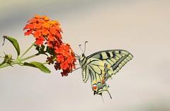 Macaone posada en lantana (En memoria de Zarpazos, mi valiente y mimoso tigre) Tags: flor lantana mariposa macaone sardegna nikon sardinia naranja cerdeña insecto butterfly