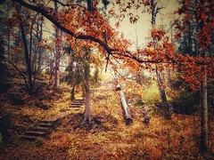 To me, autumn is the most beautiful, mysterious and magical time of the year... (marieke_verschuren) Tags: whimwood sweden trees october autumn