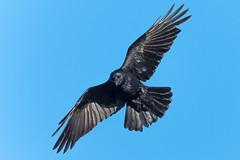 Angry Bird....... (flicks pix1946) Tags: carrioncrow corvuscorone corvid wildlife nature autumn sunlight blue grey black nikon d500 500mmpf attenboroughnaturereserve nottingham flickspix1946 klythawk