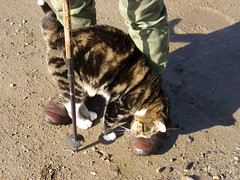Boot Leg Cat (Glass Horse 2017) Tags: cat cute boots tabby shadows friendly bootrub tabbyandwhite whitetailtip