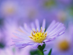Beauty comes from tenderness (Karsten Gieselmann) Tags: 60mmf28 apertureblending aster blumen blüten bokeh em1markii herbst mzuiko microfourthirds natur olympus pflanzen tropfen wasser autumn blossom droplets drops elements fall flower kgiesel m43 mft nature plants water