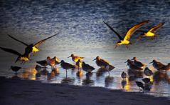 Black Skimmers and other Seabirds at dusk, Florida (klauslang99) Tags: klauslang nature naturalworld northamerica florida birds animals black skimmers shorebirds