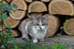 ♰ In Memory Of Catherine Deneuve ♰ (Xena*best friend*) Tags: catherinedeneuve cd cats whiskers feline katzen gatto gato chats furry fur pussycat feral tiger pets kittens kitty animals piedmontitaly piemonte canoneos760d italy wood woods wildanimals wild paws calico markings ©allrightsreserved purr digitalrebelt6s efs1855mmf3556is flickr outdoor animal pet photo nature catlover autumn automne autunno outono rip