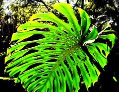 Green leaf plant (thomasgorman1) Tags: pattern green plant botanic garden nature colorized gibraltar uk leaf