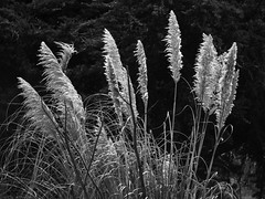 Pampas Grass (glpease) Tags: albanybulb