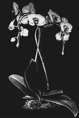 blanche orchidée (jemazzia) Tags: intérieur inside innen interior dentro binnen fleurs flowers bloemen blumen flores fiofi monochrome noiretblanc blackandwhite biancoenero enblancoynegro pretoebranco zwartenwit schwarzundweib orchidée phalaénopsis