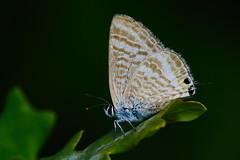 Lampides boeticus (3) (JoseDelgar) Tags: insecto mariposa lampidesboeticus 426094668694012 josedelgar naturethroughthelens alittlebeauty ngc npc fantasticnature coth coth5
