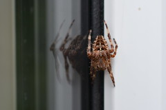 Araneus diadematus (suekelly52) Tags: orbweaver spider araneusdiadematus gardenspider arachnid reflection window