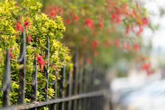 Fuchsia Fence Friday (jillyspoon) Tags: fencefriday fence railings fuchsia wigtown wigtownshire black rain blackrailings shrub hff happyfencefriday ff overhanging sony sonya7iii sony85mm sonyalpha autumn scotland
