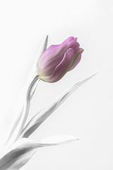 Go Beyond (pasquale di marzo) Tags: flower fiore tulipano colore macro 2019