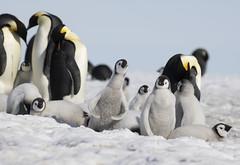 Snow Hill Island (richard.mcmanus.) Tags: emperorpenguin snowhillisland antarctica penguins birds outdoors snow animal wildlife