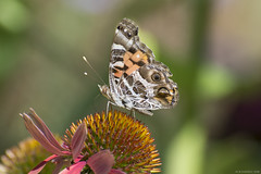 Butterfly 2019-157 (michaelramsdell1967) Tags: butterfly butterflies nature macro animal animals insect insects orange green brown painted lady flower beauty beautiful pretty lovely upclose closeup vivid vibrant detail delicate garden meadow wildlife wings fragile zen