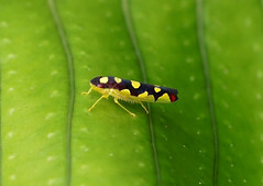Leafhopper --- Baleja flavoguttata (creaturesnapper) Tags: panama insects leafhoppers hemiptera cicadellidae balejaflavoguttata
