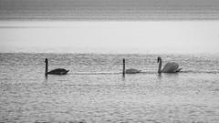 All about the swans (zedspics) Tags: balaton bw blackwhite magyarország monochrome minimalism minimal nature hungary hongarije zedspics 1910