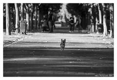 """Canem Fabulas I"" (TBWLC Photography) Tags: fdrouet tbwlc street nb bw monochrome chien dog perro nikon d610 cane"