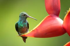 Rufous-tailed Hummingbird (Greg Lavaty Photography) Tags: rufoustailedhummingbird amaziliatzacatl costarica september 2019 davedave's costaricanaturepavilion herediaprovince puertoviejo sarapiqui birdphotography outdoors bird nature wildlife