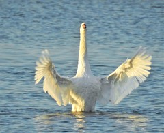 Mute Swan Lake - Cresswell (Gilli8888) Tags: nikon p900 coolpix swan muteswan bird pond lake water waterbirds northumberland cresswell cresswellponds wings feathers light